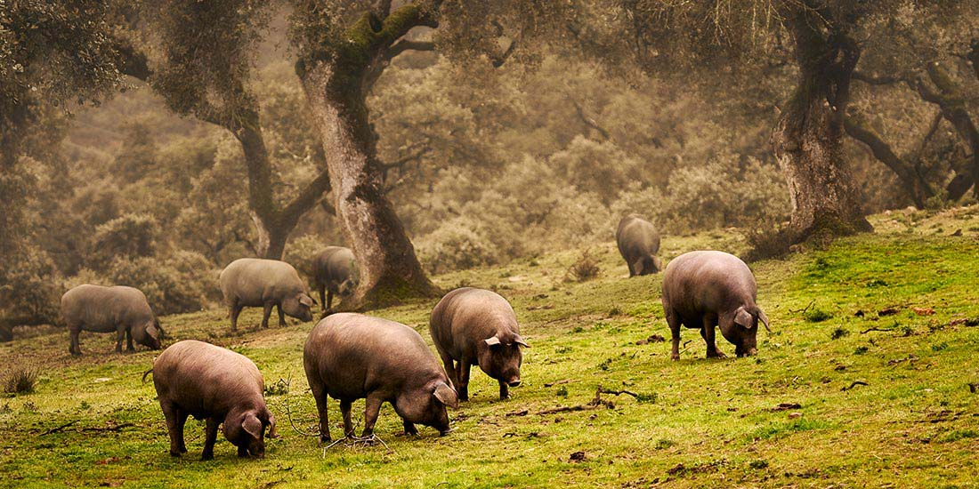 Pork and barrels - galangal - jaen - aracena - granada - spain - travel
